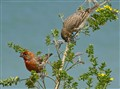 Male and Female House Finch in Habitat