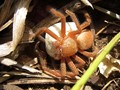 Badge Huntsman Spider & Egg Sac