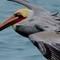 pelican crop (1 of 1)