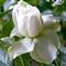 Gardenia 17