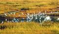 Lots of Egrets