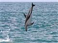 dolphin jump_1198crop