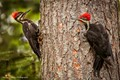 Woodpecker Pair