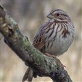 Song Sparrow on weathered branch