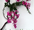 Bougainvillea in a rainy day
