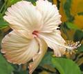 Alien hibiscus - the paleface!