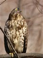 Red-tailed Hawk - mating call
