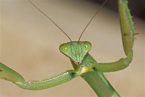 Mantis 2