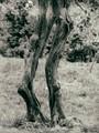 An olive tree in Sirmione, Lake Garda.