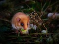 Hazel dormouse - a small mammal