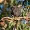 young _pied_currawong