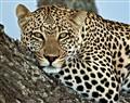 Leopard in Tree, Tanzania