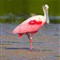 roseate spoonbill (1 of 1)