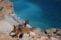 Sfakia Goats