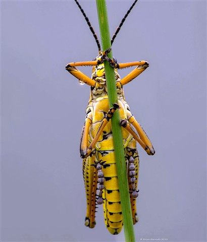 """Holding on"", Eastern (or southern) lubber grasshopper (Romalea guttata)"