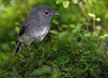 New Zealand South Island Robin on mossy forest floor