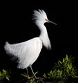 Snowy-Egret-in-Full-Plumage