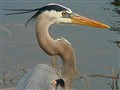 Great Blue Heron Portrait
