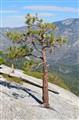 Dome Rock Tree