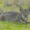 bobcat _ IMG_0127a