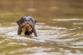 Giant River Otter Periscoping