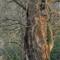 P1000143 - Woodpecker Beech Closer