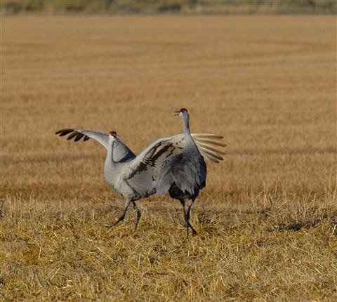 Crane dancing 1