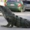 Urban Iguana
