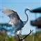 The elegant Great Egret (Ardea alba) Landing
