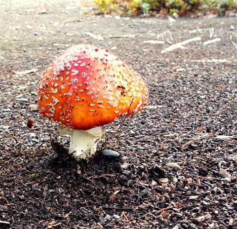 library mushroom fly agaric
