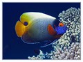 Beauty Angelfish