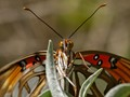 Eye to Eye with a Gulf Fritillary