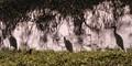 A big year birds-Flock of Little Egrets,Salt lake