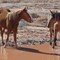 Two Wild Navajo Mustangs at Water hole