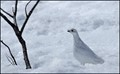 willow ptarmigan in winter plumage on Hatcher Pass Road, AK