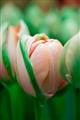 Tulip Carousel