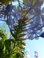 Sticky Plumbago Flowers