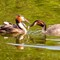 19 2 x  great crested grebe with 2 babies feeding-5195332