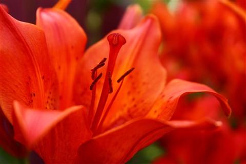 Lilies 008