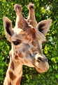 Texas Giraffe Portrait