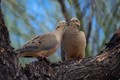 Non-mourning Mourning Doves