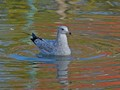 Gull on lake