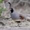 quail_4698