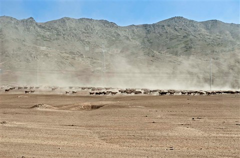 _7BL1478S Herd migration, on the way to Koktokay Mine No. 3