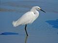 Snowy egret (Egretta thula) - Ponce Inlet, FL, USA - Date taken - 02/01/17, 2:22 PM - Photo ID - DSCF6543 - Camera - FinePix X-S1 © 2017 Bill Elvey