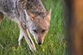 Coyote Eyeballing Me.