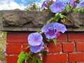 Convolvulus on an old railway brick fence.