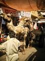 Camel Man