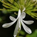 White Agapanthus