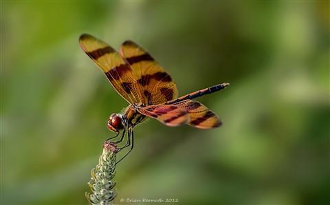 Halloween pennant dragonfly (Celithemis eponina - Libellulidae)